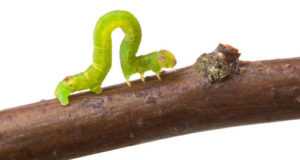 Inchworm walking on a branch
